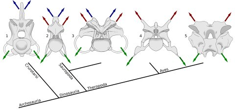 "Taylor and Wedel (2013a: figure 11). Archosaur cervical vertebrae in posterior view, Showing muscle attachment points in phylogenetic context. Blue arrows indicate epaxial muscles attaching to neural spines, red arrows indicate epaxial muscles attaching to epipophyses, and green arrows indicate hypaxial muscles attaching to cervical ribs. While hypaxial musculature anchors consistently on the cervical ribs, the principle epaxial muscle migrate from the neural spine in crocodilians to the epipophyses in non-avial theropods and modern birds, with either or both sets of muscles being significant in sauropods. 1, fifth cervical vertebra of Alligator mississippiensis, MCZ 81457, traced from 3D scans by Leon Claessens, courtesy of MCZ. Epipophyses are absent. 2, eighth cervical vertebra of Giraffatitan brancai paralectotype HMN SII, traced from Janensch (1950, figures 43 and 46). 3, eleventh cervical vertebra of Camarasaurus supremus, reconstruction within AMNH 5761/X, ""cervical series I"", modified from Osborn and Mook (1921, plate LXVII). 4, fifth cervical vertebra of the abelisaurid theropod Majungasaurus crenatissimus,UA 8678, traced from O'Connor (2007, figures 8 and 20). 5, seventh cervical vertebra of a turkey, Meleagris gallopavo, traced from photographs by MPT."