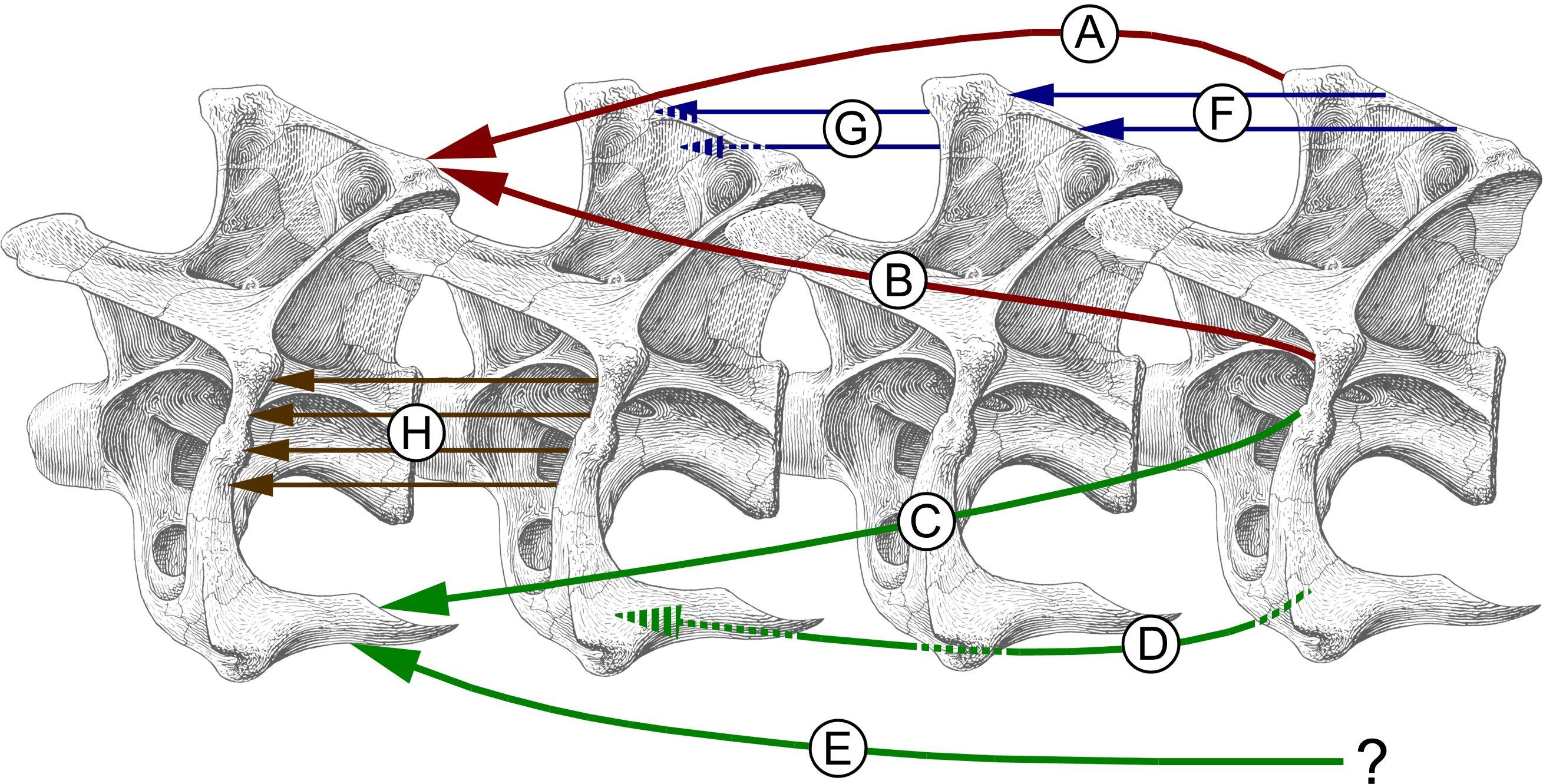 Taylor and Wedel (2013a) on sauropod neck anatomy | Sauropod ...