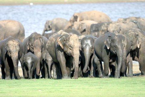 056-Elephant-c-Gehan-de-Silva-Wijeyeratne-Minneriya-2004-07-27-165-Gathering