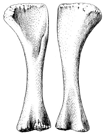 Alamosaurus left humerus in anterior and posterior views, from Lehman and Coulson (2002: figure 7).