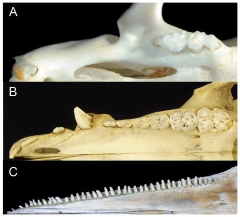 Comparison of mammalian dental patterns showing the differences in regionalization of tooth morphology. (A) Mus musculus (B) Sus scrofa (picture is of an immature pig with an unerupted M3) and (C) Stenella attenuata. Figure 1 from Armfield et al. 2013.