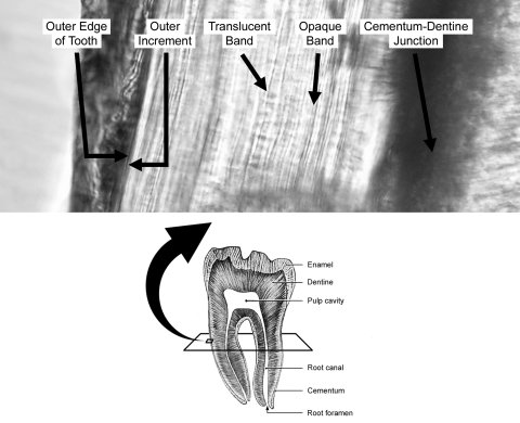 Dental cementum increments in a human tooth, from V. Wedel (2007: figure 1).