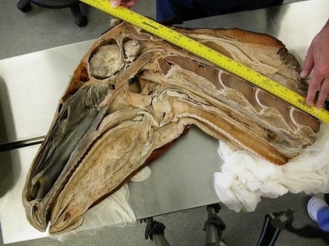 Hemisected horse head with scale