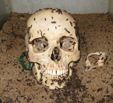 Skull being cleaned by dermestidbeetle larvae. Image from Wikipedia.