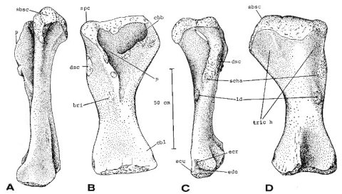 Opisthocoelicaudia right humerus in lateral, anterior, medial, and posterior views, from Borsuk-Bialynicka (1977: figure 7)