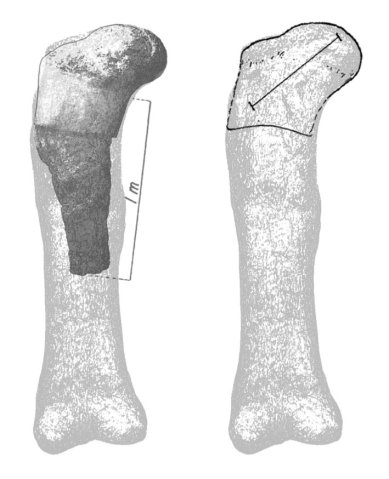 The Recapture Creek brachiosaur femur fragment compared to the complete femur of the Brachiosaurus altithorax holotype FMNH P25107
