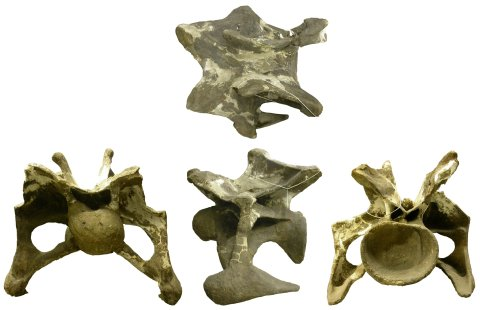 Figure 1. A cervical vertebra of Apatosaurus ajax YPM 1860 showing complete bifurcation of the neural spine into paired metapophyses. In dorsal (top), anterior (left), left lateral (middle), and posterior (right) views.
