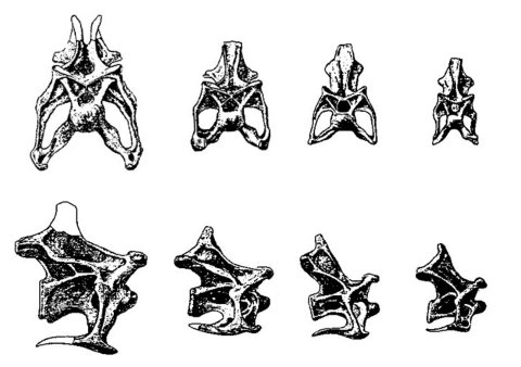 Wedel and Taylor 2013 bifurcation Figure 10 - Apatosaurus parvus anterior cervicals from Gilmore