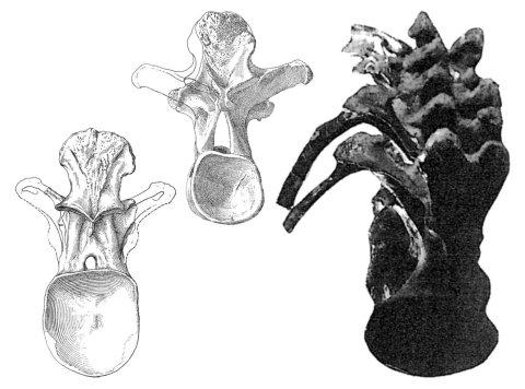 Wedel and Taylor 2013 bifurcation Figure 12 - Camarsaurus dorsal comparison