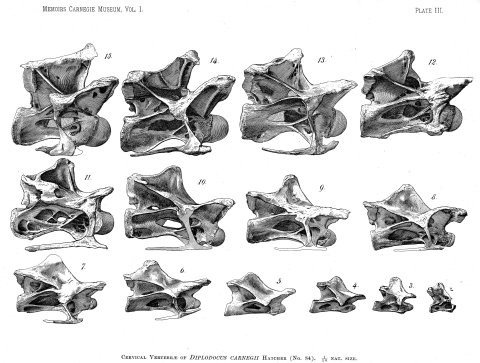 Wedel and Taylor 2013 bifurcation Figure 13 - Diplodocus cervicals from Hatcher