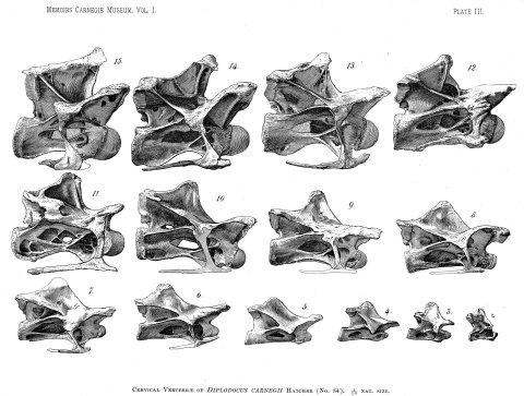 Wedel and Taylor 2013 bifurcation Figure 13 - Diplodocus cervicals from Hatcher