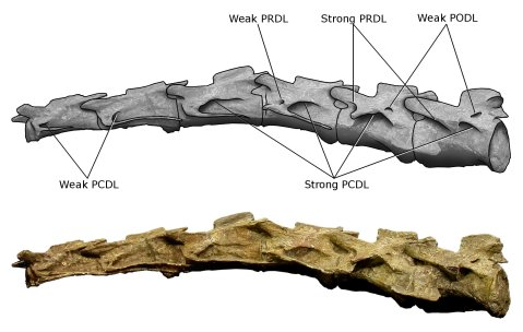 Wedel and Taylor 2013 bifurcation Figure 14 - Plateosaurus cervicals