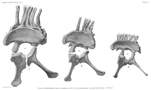 Wedel and Taylor 2013 bifurcation Figure 20 - Haplocanthosaurus pelvis comparison