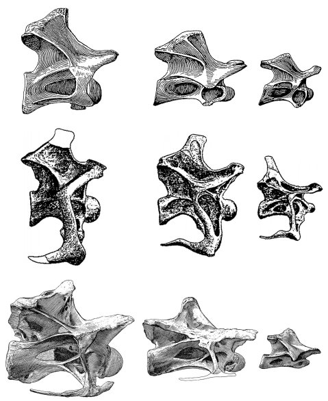 Wedel and Taylor 2013 bifurcation Figure 21 - Haplocanthosaurus cervical comparison - lateral