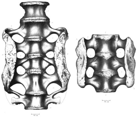 Figure 5. Sacra of Apatosaurus excelsus holotype YPM1980 (left) and A. ajax holotype YPM 1860 (right) in ventralview and at the same scale, modified from Ostrom &McIntosh (1966: plates 27 and 29).