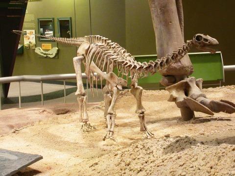 OMNH baby Apatosaurus