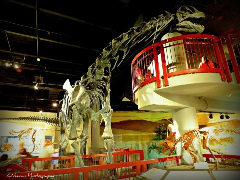 Camarasaurus_skeleton