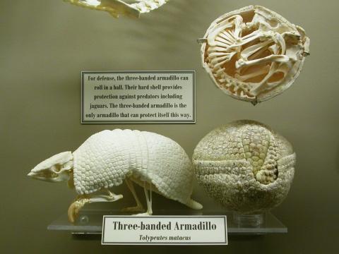 MoO 2013 - 3-banded armadillo