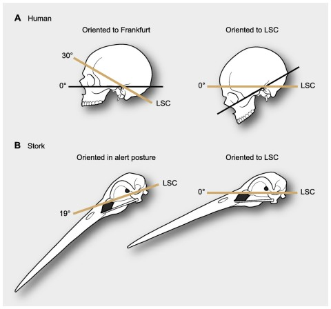 Figure 1: Differences in reference systems in skulls. (A) In the human skull there is a 30° difference between the Frankfurt plane and that of the LSC, thus yielding substantially different head orientations (from de Beer, 1947). (B) When a stork is in alert its LSC is oriented 19° above the horizon, thus when putting the LSC at 0° (horizontal) head posture differs from its alert posture (from Duijm, 1951).