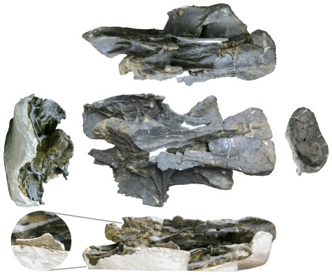 Barosaurus lentus holotype YPM 429, Vertebra Q (C?13). Top row: left ventrolateral view. Middle row, from left to right: anterior view, with ventral to the right; ventral view; posterior view, with ventral to the left. Bottom row: right lateral view, inverted. Inset shows diapophyseal facet on right side of vertebra, indicating that the cervical ribs were unfused in this individual despite its great size. Note the broad, flat prezygapophyseal facet visible in anterior view. (Taylor and Wedel 2013b: figure 6)