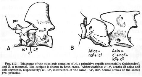 Romer 1956 fig 119 atlas-axis complex