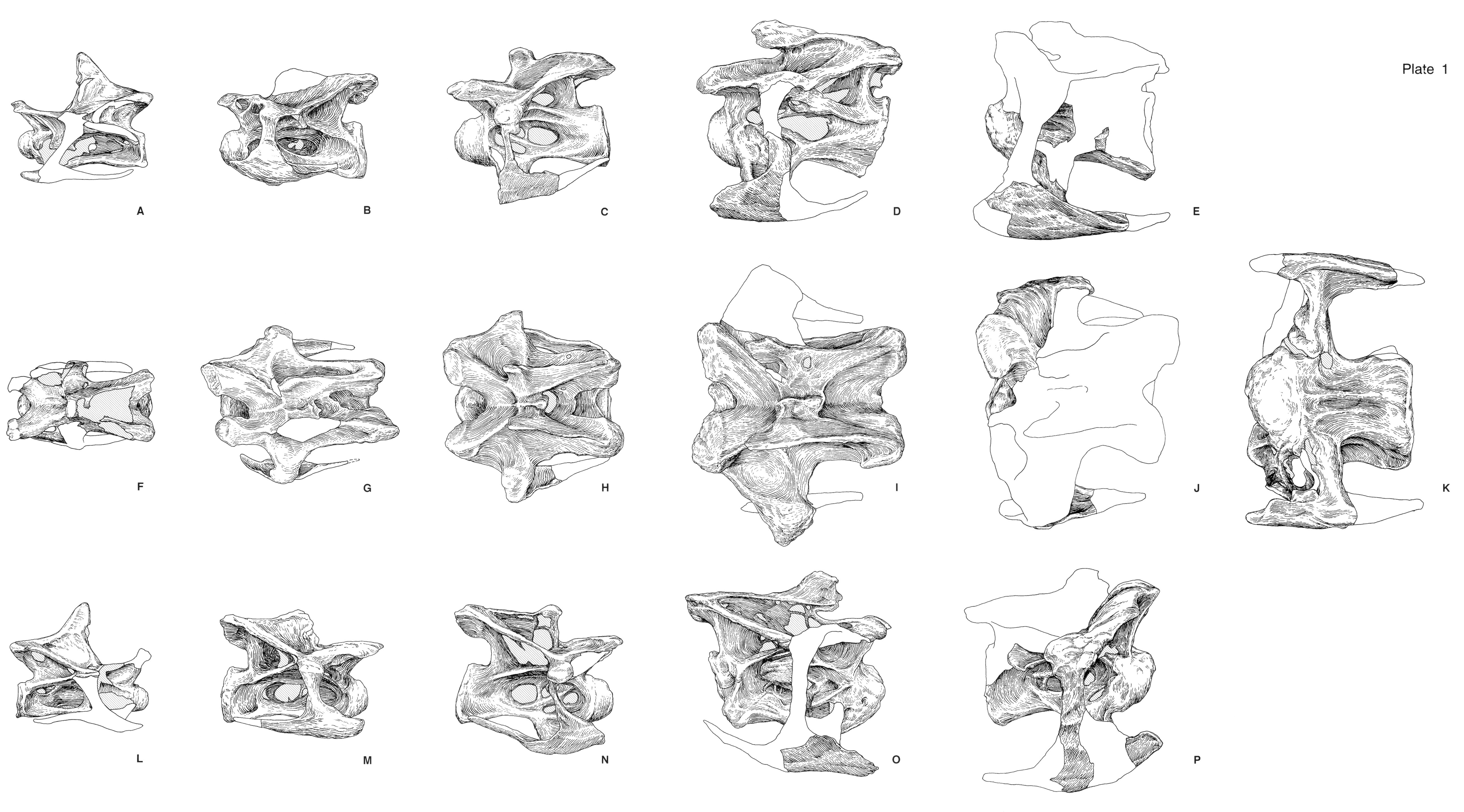 Here Are Those Dorsal View Images Of Apatosaurus Cervicals You