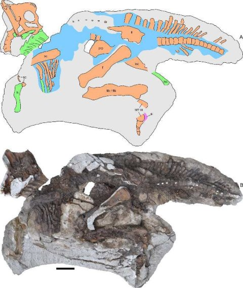 FarkeEtAl2013-parasaurolophus-fig4
