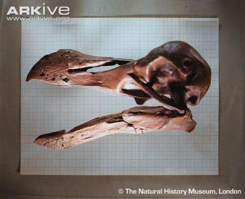 Arkive Dodo-skull