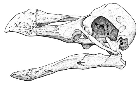 Dodo skull drawing MJW 2013