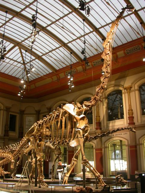 Figure 1. The world's biggest mounted skeleton: the sauropod Giraffatitan brancai. Mounted skeleton of Giraffatitan brancai paralectotype MB.R.2181 at the Museum für Naturkunde Berlin, Berlin, Germany. Lead author for scale, by the skeleton's elbow. This is the largest mounted skeleton in the world based primarily on real remains rather than sculptures. It is 13.27 m tall, and represents an animal that probably weighed about 20–30 tonnes[61]. Much larger sauropods existed, but they are known only from fragmentary remains.
