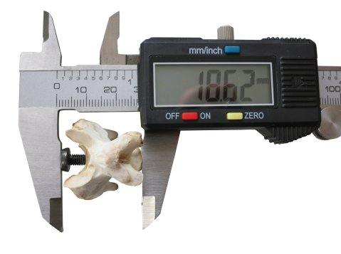Figure 10. Modified calipers for measuring functional vertebral length. Modified calipers used to measure functional length of a turkey vertebra. The tooth glued to the left jaw protrudes into the transverse concavity of the anterior articular surface and the dorsoventral concavity of the posterior articular surface straddles the right jaw.