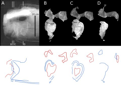 Figure 12. CT slices from fifth cervical vertebrae of Sauroposeidon. X-ray scout image and three posterior-view CT slices through the C5/C6 intervertebral joint in Sauroposeidon OMNH 53062. In the bottom half of figure, structures from C6 are traced in red and those from C5 are traced in blue. Note that the condyle of C6 is centered in the cotyle of C5 and that the right zygapophyses are in articulation.