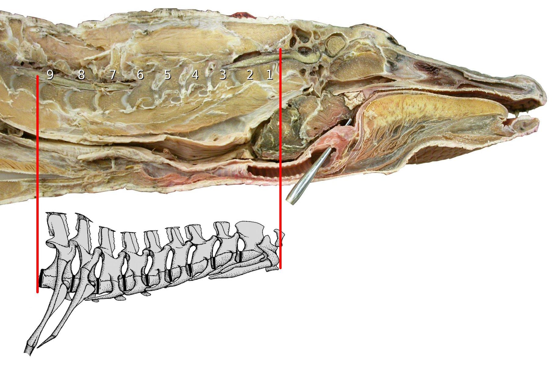 Taylor and Wedel (2013b) on neck cartilage | Sauropod Vertebra ...