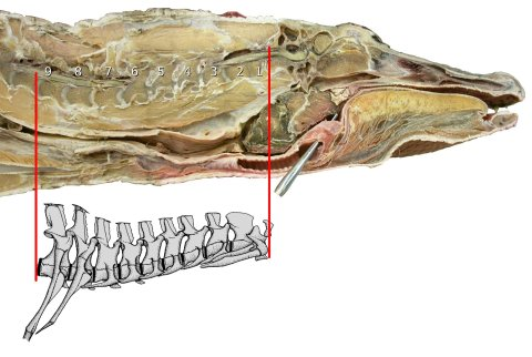 Figure 19. Alligator head and neck. Sagittally bisected head and neck of American alligator, with the nine cervical vertebrae indicated. Inset: schematic drawing of these nine vertebrae, from ([62]: figure 1), reversed.