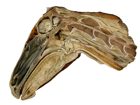 Figure 20. Horse head and neck. Sagittally bisected head and anterior neck of a horse. The first four cervical vertebrae are complete, but the posterior part of the fifth is absent. Note that the condyles are deeply embedded in their cotyles.