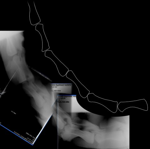 Figure 21. Camel neck in X-ray. X-ray image of a camel, with tracing to highlight the centra of cervical vertebrae 2–7. (C1 and the anterior part of C2 are obscured by the skull.) Note that most of the condyles do not even reach the posterior margins of their corresponding cotyles, let alone embed deeply within them.
