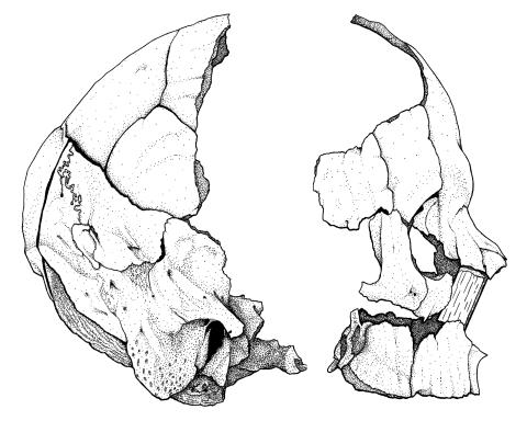 Skull drawing - A
