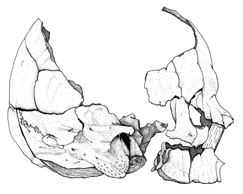 Skull drawing - B