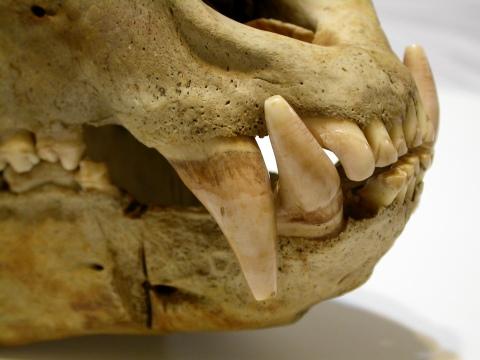 Ursus americanus - canines