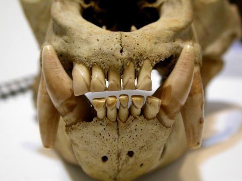 Ursus americanus - smile