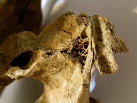 Ursus americanus - temporal bone
