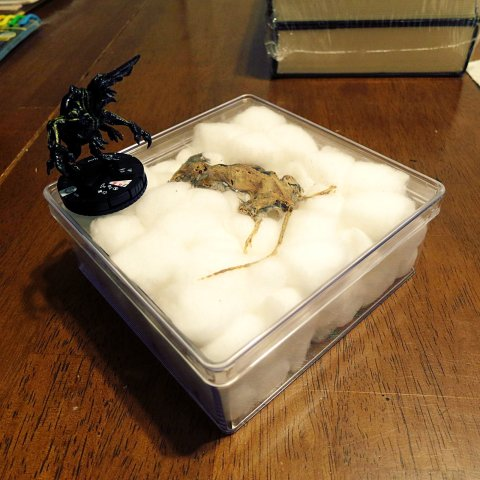 Mummified mouse - in box