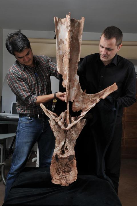 Jeff Wilson (left) and Ronan Allain (right), with dorsal vertebra of Rebbachisaurus.