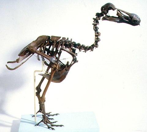 dodo-skeleton-flipped