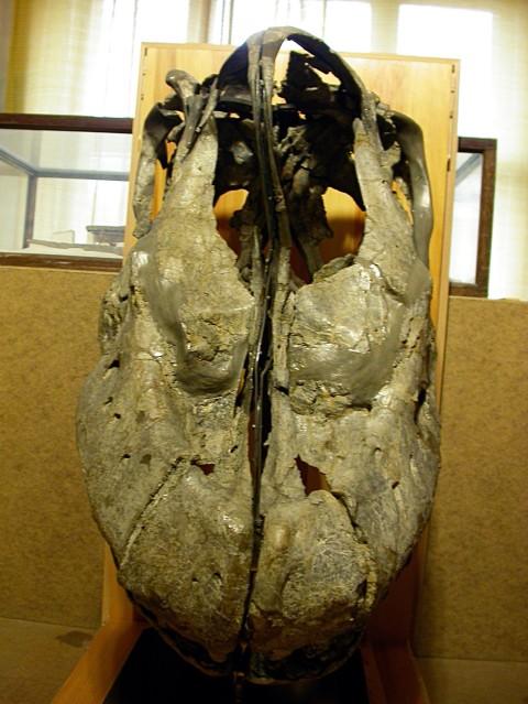 Giraffatitan skull anterior