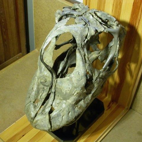 Giraffatitan skull dorsal oblique