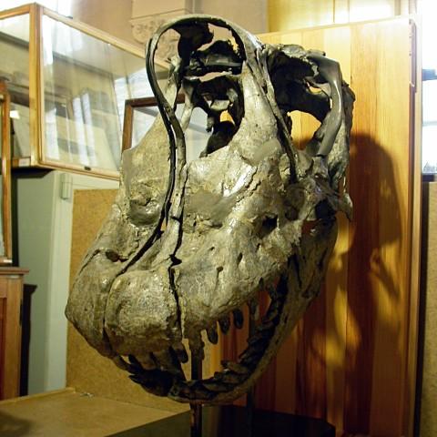 Giraffatitan skull left anterolateral