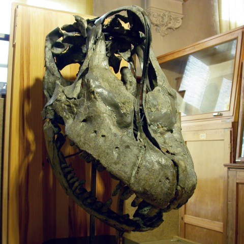 Giraffatitan skull right anterolateral