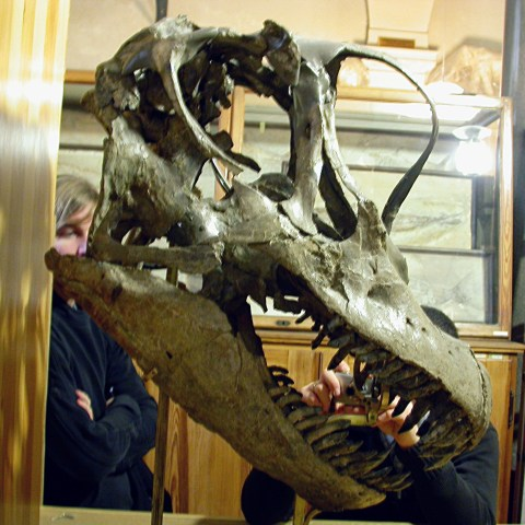 Giraffatitan skull right lateral