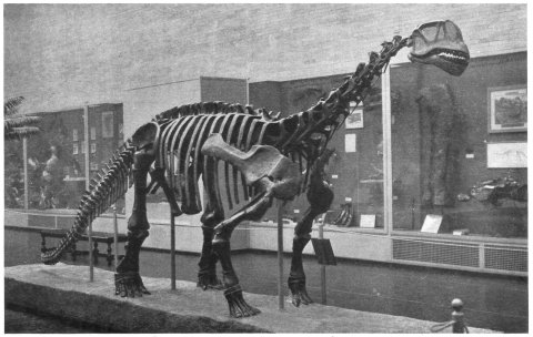 Camarasaurus lentus, holotype skeleton, oblique front view (Full 1930: fig. 1)